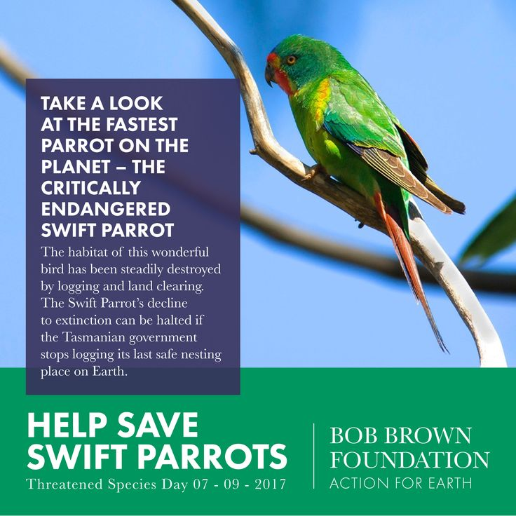 This Threatened Species Day we commit to continue campaigning for a permanent ban on logging any Swift Parrot habitat. Send an email to the PM & Tasmanian Premier asking them to take action here: http://www.savebrunyisland.org/ . #actionforearth #bobbrown #bobbrownfoundation #environment #tasmania #australia #aussie #tassie #rainforest #bushland #wild #wilderness #wildlife #photography #forest #logging #politas #sustainable #tourism #ecoconscious #ethical #earth #discovertasmania