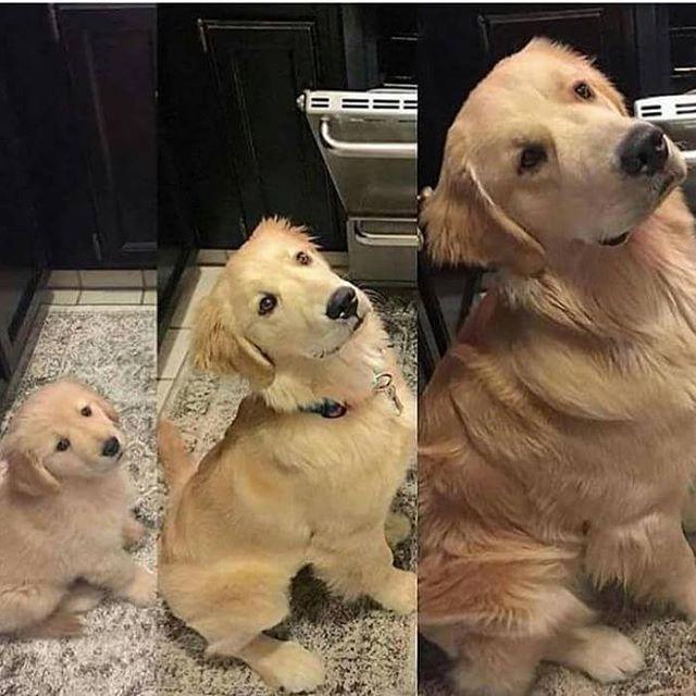 Pupper ➡Doggo➡woofer Follow @9gag - - - #9gag #cute #dogs #pups #pokemon #headtilt #goldenretriever #FF #awesome #funny #followback