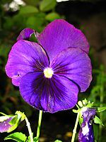 Violet - February birth flower amongst other reasons, my violet tattoo needs revamped