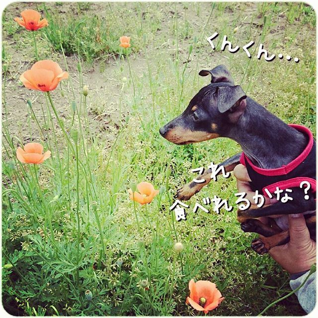 * ルーク、田舎体験中🐶  何でも食べようとしてしまう😨 こわいこわい…  #ToyManchesterTerrier #トイマン #トイマンチェスターテリア #トイマンワルド #愛犬 #犬 #わんこ #我が家の天使 #ルークの成長記録