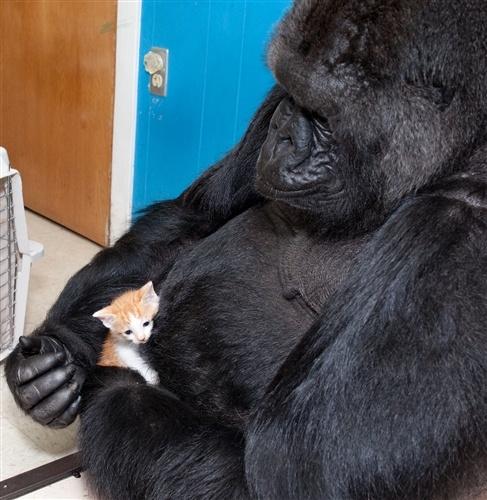 Koko and her kitten  (Ron Cohn / The Gorilla Foundation / koko.org)