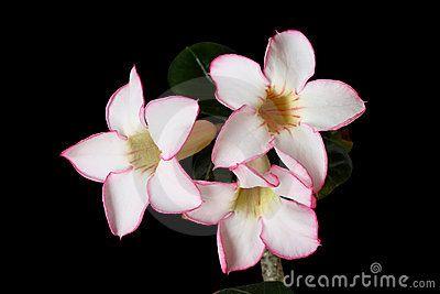 Fiori di rosa del deserto