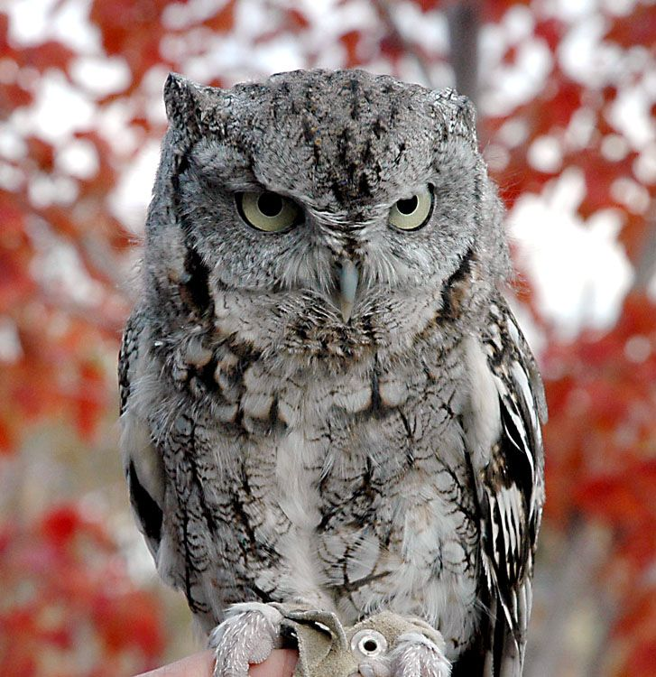 Eastern Screech Owl | Eastern screech owls | Pinterest ...