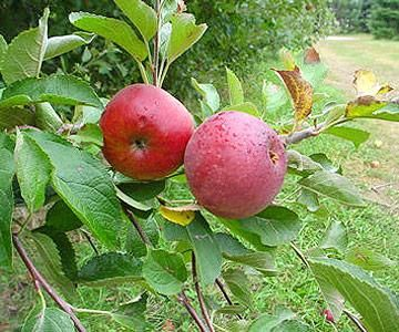 With thousands of apple varieties, how do you choose when a recipe calls for 'cooking apples' or 'baking apples'? Here are 12 suggestions to give your recipe just the right flavor.