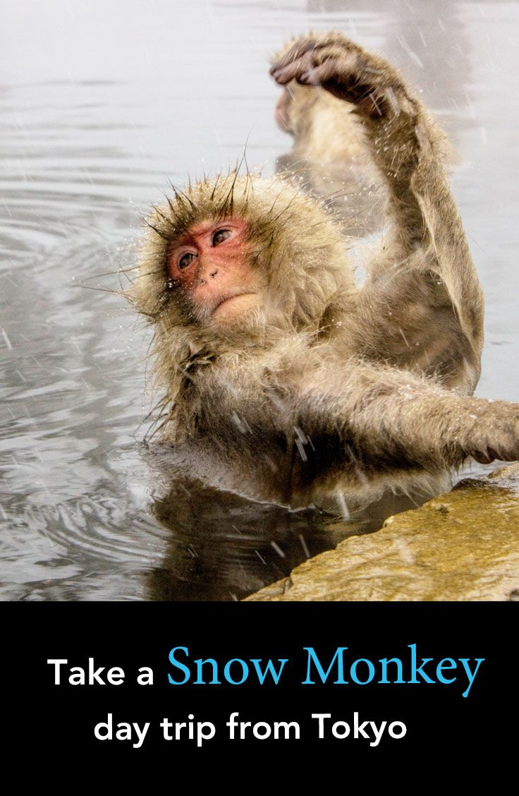 The Japanese Macaque or Snow Monkey are adorable.  If you don't have time on your trip to stay in Nagano this post sets out how to make the trip as Tokyo day trip.