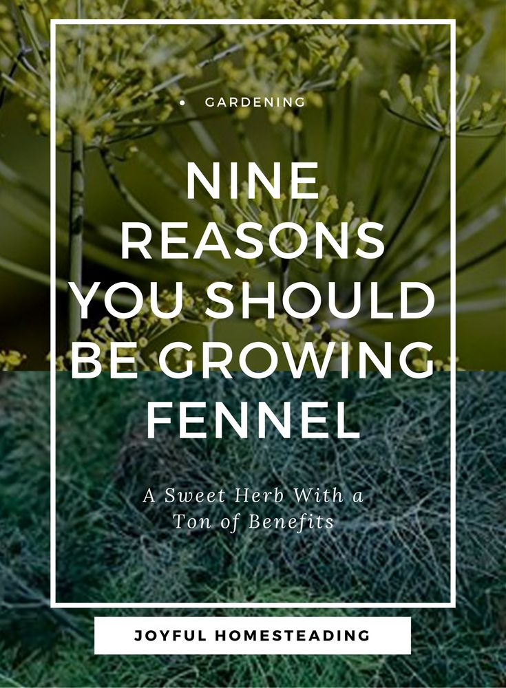 Growing Fennel is easy, especially if you have good, rich soil with excellent drainage. Here are nine reasons this sweet herb is an excellent addition to your garden.