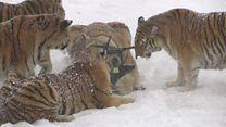 GALERINHA INFANTIL: Tigres siberianos acima do peso se exercitam com d...