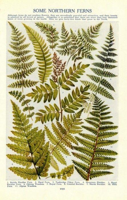 ferns, botanical illustration
