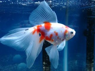 Calico Fantail Goldfish   Oranda : similar al cola de velo, pero con una protuberancia carnosa ...
