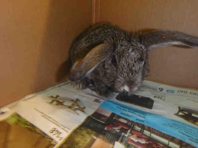 A1635756 - URGENT - located at CITY OF LOS ANGELES SOUTH LA ANIMAL SHELTER in Los Angeles, CA - BABY Female Am. Rabbit