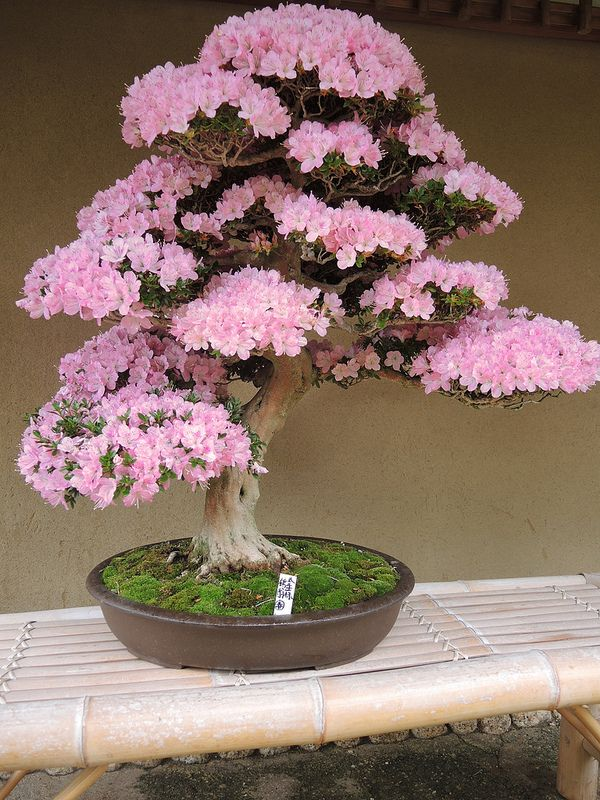 bonsai tree in bloom