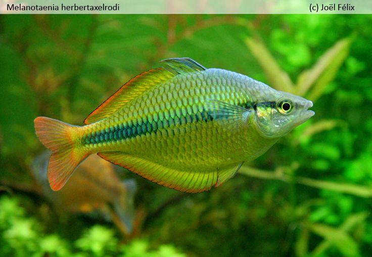 Best 25 australian rainbow fish ideas on pinterest for Freshwater rainbow fish