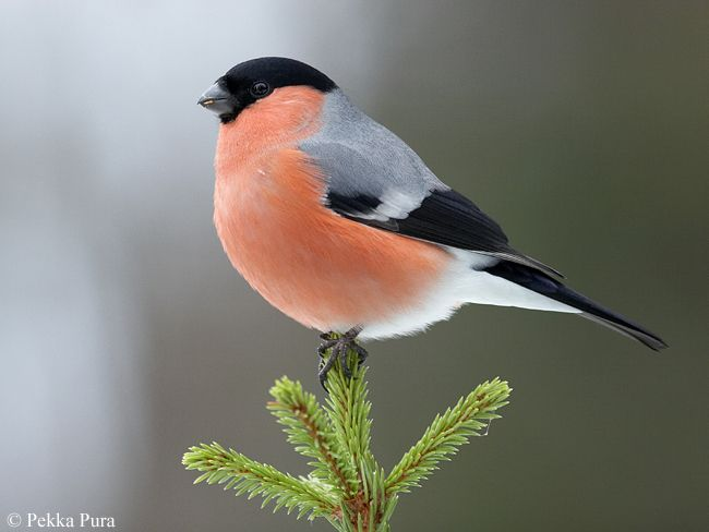 The Bullfinch, Common Bullfinch or Eurasian Bullfinch (Pyrrhula pyrrhula) is a small passerine bird in the finch family Fringillidae. In Anglophone Europe it is known simply as Bullfinch, as it is the original bird to bear the name bullfinch.