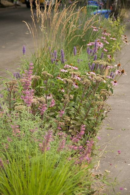 Hyssop, sedum, purple coneflower and perennial grasses