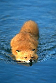 Swimming Red Fox I Alaska Travel Photos