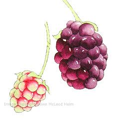 painting nature, wild blackberries, free watercolor art instruction