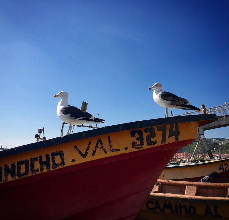 Gaviotas en Caleta Portales, Valparaíso.  Larus dominicanus.