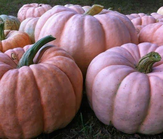 17 best Porcelain Doll Pink Pumpkin images on Pinterest  Pink pumpkins Pumpkin patches and Seeds