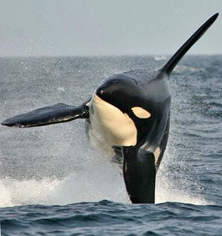 Would love to go back and see the whales.... Prince of Whales in Victoria, BC!! Amazing trip.