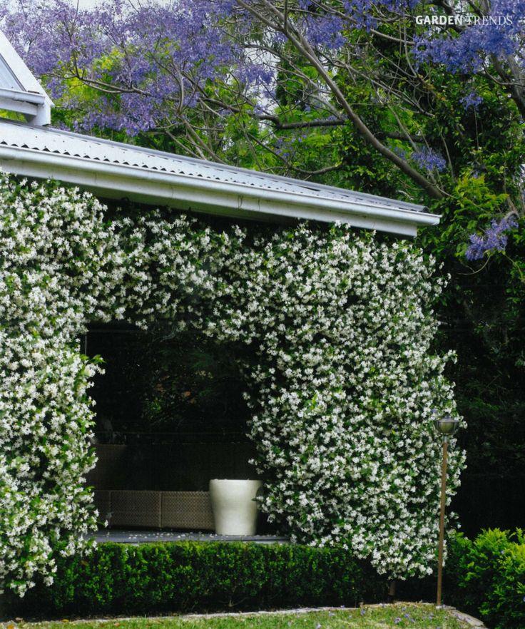 Trachelospermum jasminoides, for a trellis between the French doors / under the third-floor terrace / on the railing of the third-floor terrace