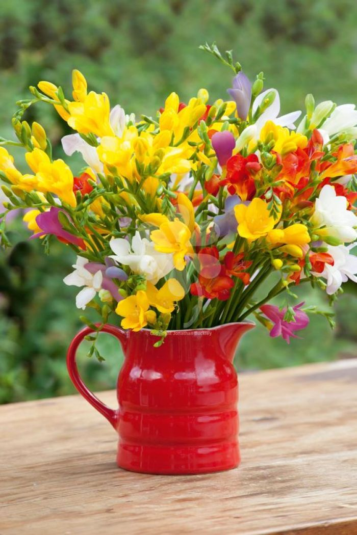 Freesia A Fragrant Flower For Your Garden In 2020 Fragrant Flowers Flower Pots Plants