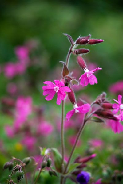 Red campion Silene dioica - a great addition to a shady meadow or woodland edge