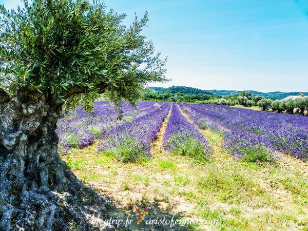 Viaje a los campos de flores de lavanda en Francia