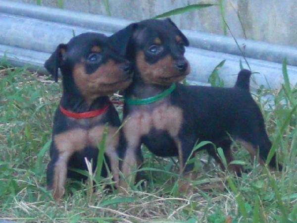 子犬の紹介・ミニチュア・ピンシャー ブラック&タンの男の子たち                              …