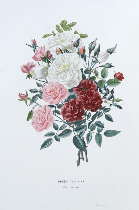SNHF | Roses Pompons