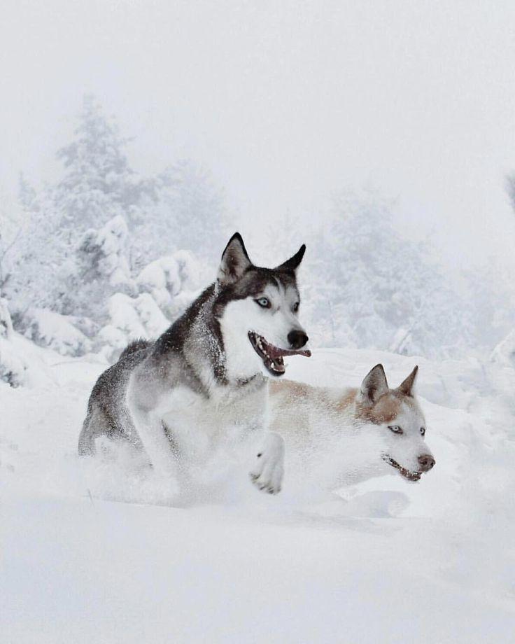 Intelligent siberian huskies puppies size