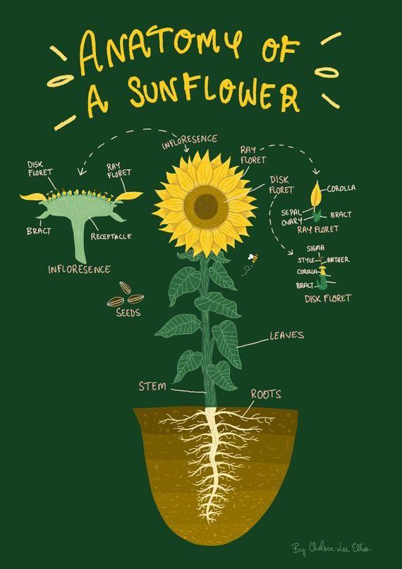 Sunflower Diagram : sunflower, diagram, Anatomy, Sunflower, Diagram, Illustration, Illustrated, Sunflower,, Anatomy,, Biology, Resources