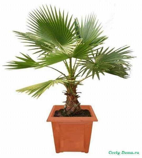 Юбка комнатное растение