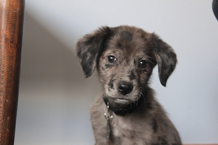 Australian shepherd/border collie mix puppy. OMG I need puppy snuggles right now.