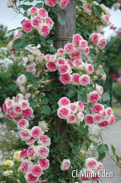 Mimi Eden est un petit grimpant ou arbuste de 1,20 m, version miniature du célèbre 'Pierre de Ronsard', aux fleurs rose pâle. Les roses sont de la même taille ou presque que celles du 'Pierre de Ronsard'. Très florifère, adapté aux petits espaces. Fleurit de juin à Octobre. Exposition au soleil ou à mi-ombre. Excellente rose à bouquets. Meilland.