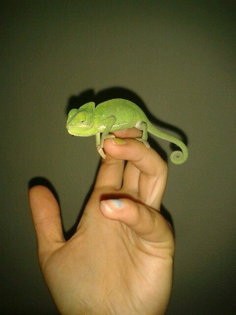 Little #Chameleon