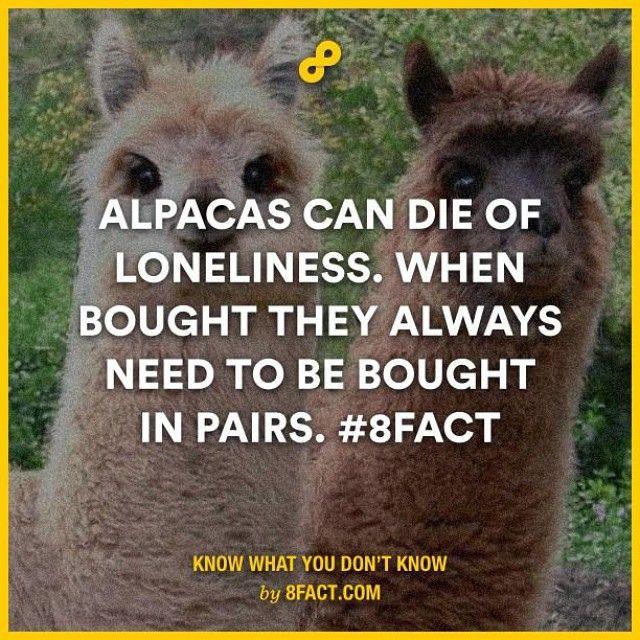 #fact #alpaca #lonliness #pairs