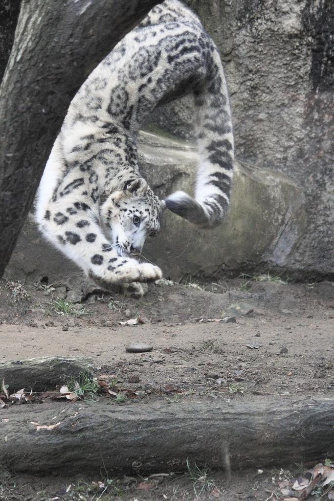 #snowleopard #flip