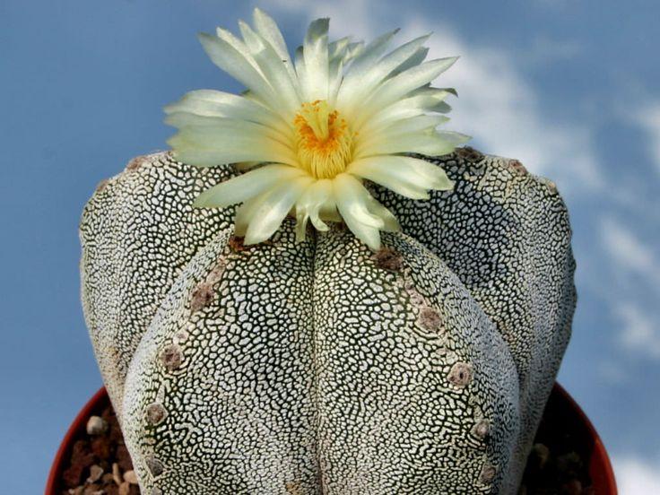 Astrophytum myriostigma 'Onzuka' | World of Succulents