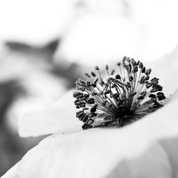Poppy Flower Summer Spring August in Bloom Remembrance Oz Square Black and White Nature Photograph. Fine Art Photography Print.