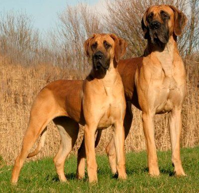 Two Great Danes.  Two dogs!