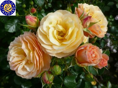 REBECCA MARY (Dicjury) 2009                   £8.50 The rose was named by Dr. Nick Harris to celebrate his wife Becky's 40th birthday.  Beautiful peach-gold blooms.. A very prolific flowerer, very healthy and vigorous with a height of no more than 90 cm and a spread of 84 cm.  Lovely light to mid green glossy foliage compliment the blooms perfectly and the sweet to spicy light fragrance add to the charm of this, one of the most highly rated floribundas in years.