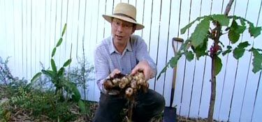 how to grow ginger in australia