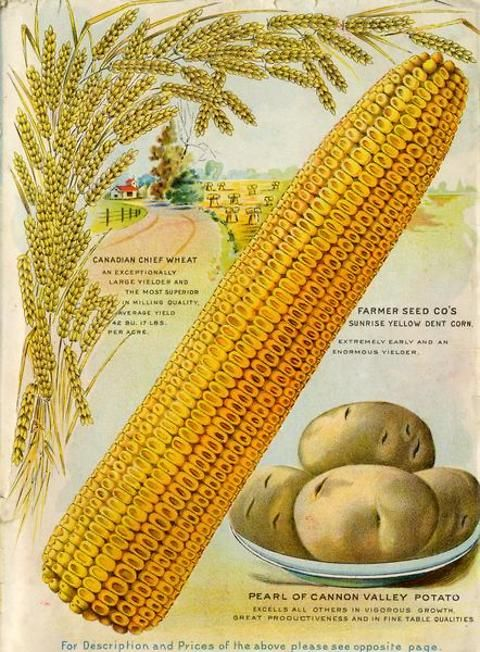 Perfection reigns on the inside back cover of the 1906 Farmer Seed & Nursery Co. catalog.   The corn cob is filled to its very tip, the wheat kernels align perfectly on the stalk, and the beautiful oval potatoes are plump and unblemished.   Farmer Seed & Nursery originated in Faribault, MN in 1888. Andersen Horticultural Library hosts a collection of vintage Farmer Seed & Nursery catalogs.