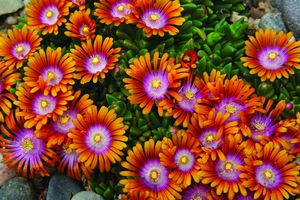 """Delosperma 'Fire Spinner' - Nickel-sized apricot to bright orange flowers with a ring of hot pink to magenta surrounding a white eye; emerges in late spring with the flowers covering the foliage; often reblooms sporadically throughout the summer; helps suppress weeds as a ground cover; heat and drought tolerant; great for rock gardens, slopes and containers; 1""""-3""""; full sun; whz 5-9; plug."""