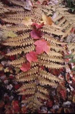 What Is a Red Fern Plant?