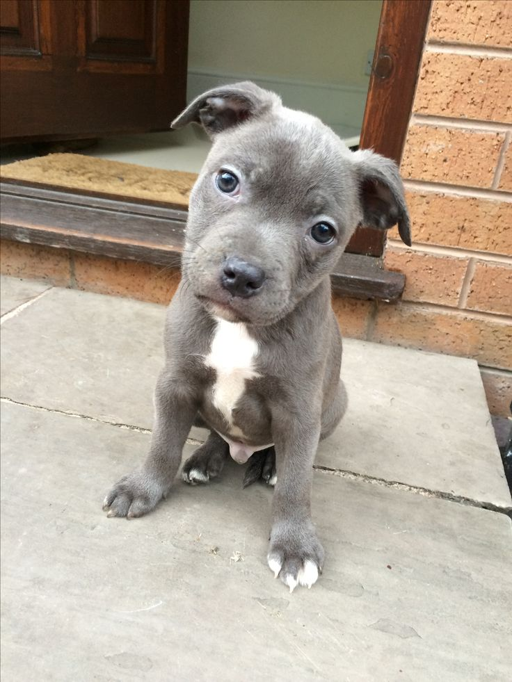 BronsonJr at 8 weeks. The day I picked him up and brought him back to his new home.  #Staffy #StaffordshireBullterrier #Blue #BronsonJr