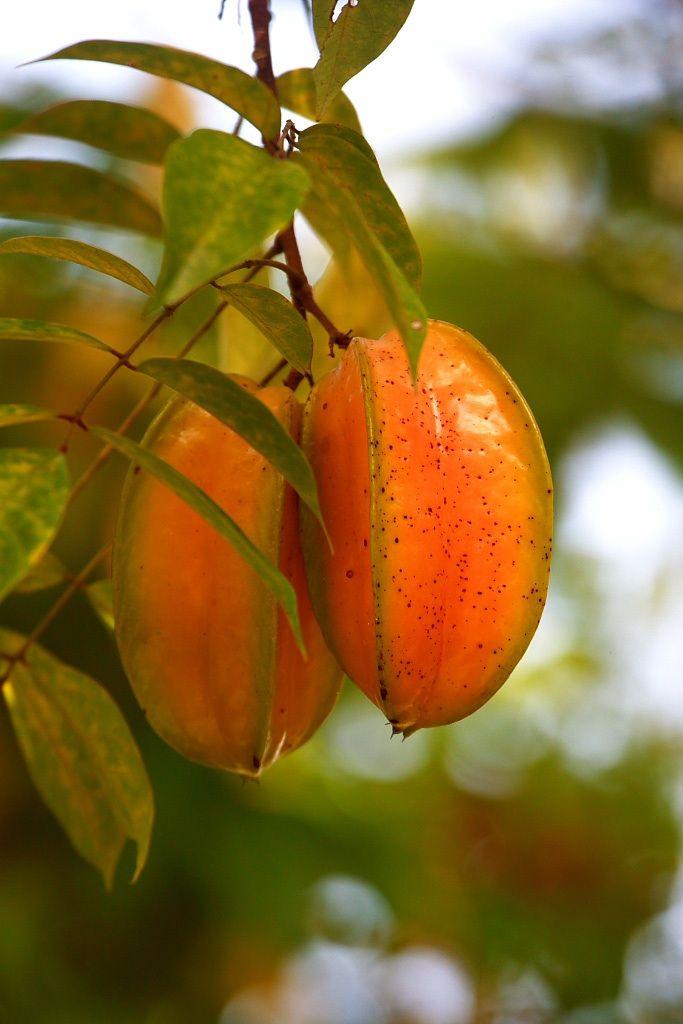 Starfruit or Carambola #costarica #osa