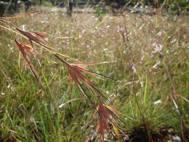 Kangaroo Grass Grows: 1.5m x 2m; Flowers: Oct- Feb