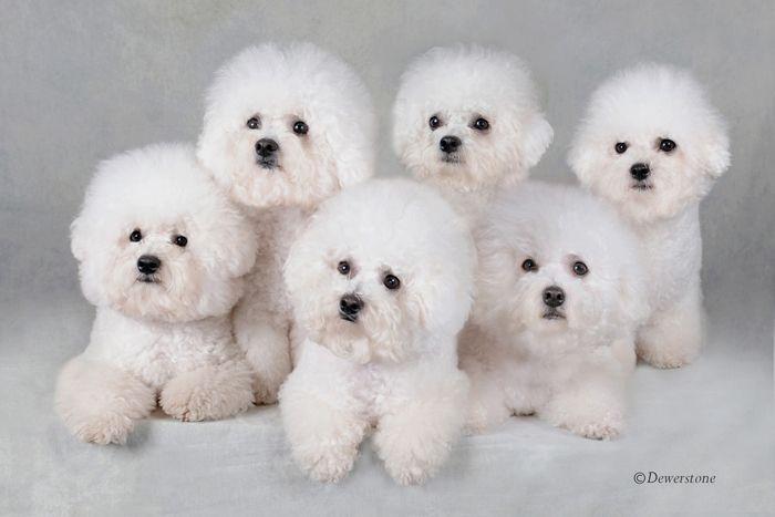 bichons: Cotton Ball, Osborne Bichon, Puppies, Dogs, Google Search, Beautiful Bichon, Families, Bichon Frise Funny, Bichon Frisé