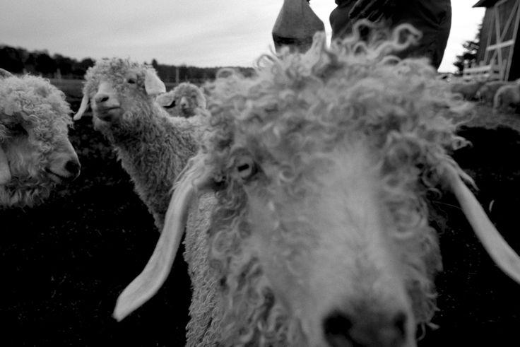 Les Girard rencontrent le Chevrier du Nord.  L'élevage de la chèvre angora au Chevrier du Nord.